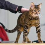 【トイガー】今、僕が本気で飼いたいトラみたいなネコ