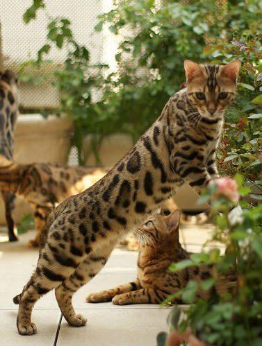 ベンガル:猫(ねこ)を飼う ドットコム