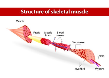 17878654 - illustration  muscle tissues  each skeletal muscle fiber has many bundles of myofilaments  each bundle is called a myofibril  this is what gives the muscle its striated appearance  the contractile units of the cells are called sarcomeres